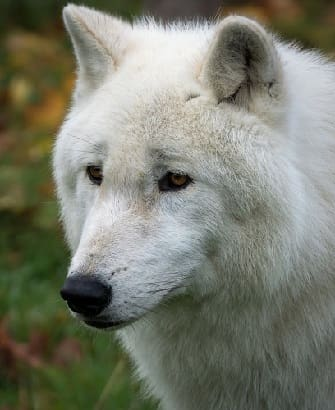 Arctic Wolf Face