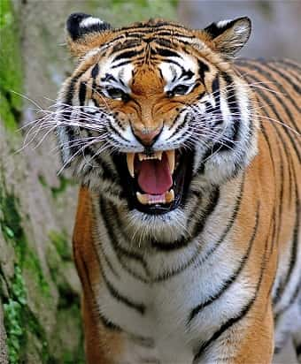A Bengal Tiger growling