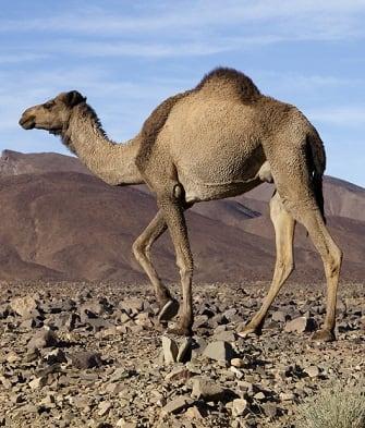 DESERT ANIMAL FACTS