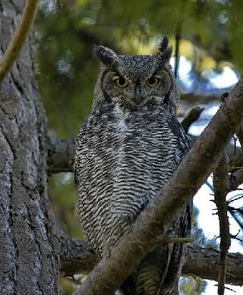 Great Horned Owl in tree