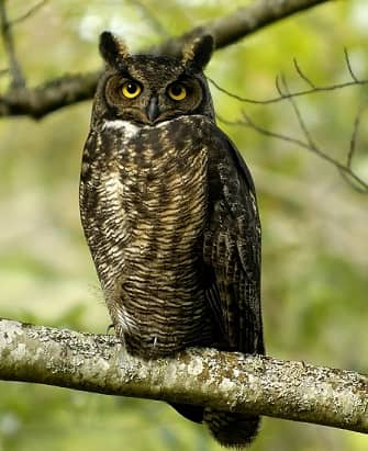 Northeastern Great Horned Owl in a tree