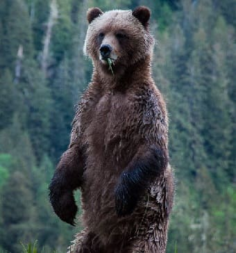 Grizzly Bear standing on hind legs