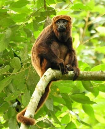 'Howler Monkey in tree' from the web at 'http://interesting-animal-facts.com/Facts-South-American-Animals/../Images/Howler-Monkey.jpg'