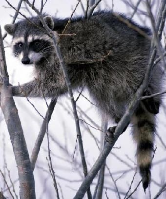 North American Raccoon in tree
