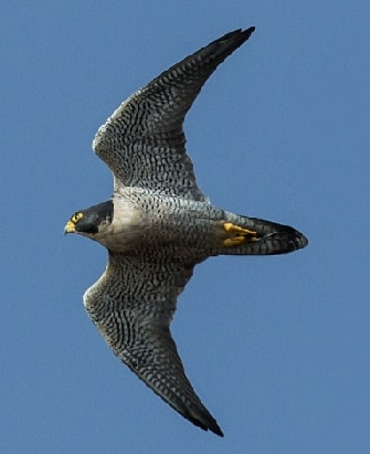 Peregrine Falcon preparing to swoop
