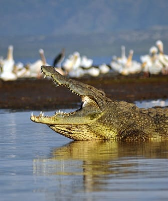Saltwater Crocodile on rivers edge